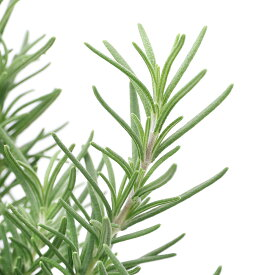 (観葉植物)ハーブ苗 ローズマリー ブルー 立性 5号(1鉢) 家庭菜園