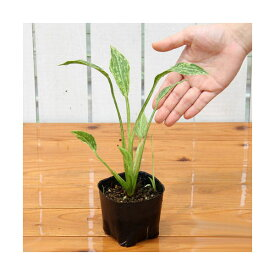 (ビオトープ)水辺植物 サジタリア グラミネア クラッシュアイス (1ポット) 抽水植物