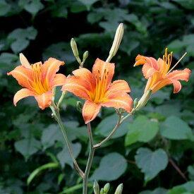 (ビオトープ)水辺植物 ノカンゾウ(1ポット) 湿生植物