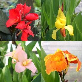 (ビオトープ)水辺植物 カンナ 品種おまかせ 4号(1ポット) 湿生植物
