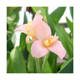 (ビオトープ)水辺植物 カンナ ピーチディライト(1ポット) 湿生植物