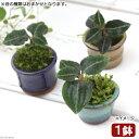 (山野草)盆栽 豆鉢 苔盆栽 Ver.ベニシュスラン(1鉢) (休眠株)