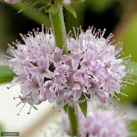 (ビオトープ)水辺植物 ニホンハッカ 原種(3ポット) 抽水植物