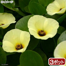 (ビオトープ)水辺植物 ウォーターポピー(ミズヒナゲシ)(3ポット) 浮葉植物