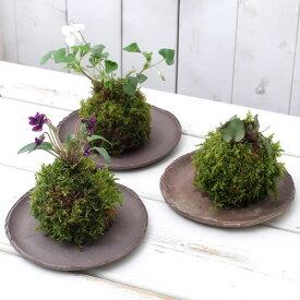 (盆栽)苔玉 スミレ 品種おまかせ(3個) 観葉植物 コケ玉