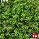 (観葉植物)苔 大トレー ヤマゴケ(ホソバオキナゴケ・アラハシラガゴケ) 大トレー1枚分 48×33cm