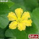 (ビオトープ/水辺植物)アサザ レモンイエロー花( 3ポット)