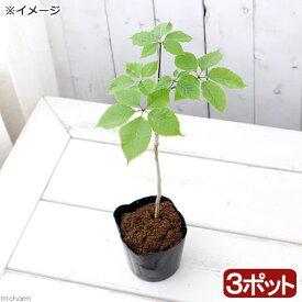 (山野草)山菜 コシアブラ(漉油)3〜4号(3ポット) 家庭菜園 盆栽 庭木