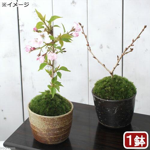 (山野草)苔盆栽 サクラ(桜)御殿場桜 穴有益子焼植木鉢(還元)(1鉢)