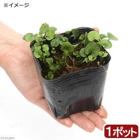(ビオトープ)水辺植物 アオイゴケ(ダイコンドラ・ミクランサ) 3号(1ポット) 湿性植物
