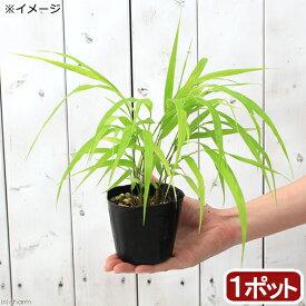 (山野草)黄金フウチソウ(黄金楓知草) 2.5〜3号(1ポット)