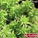 (観葉植物)苔 オオミズゴケ 4パック分【HLS_DU】