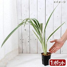 (山野草)キキョウラン 斑入り(斑入桔梗蘭 ディアネラ) 4号(1ポット) (休眠株)