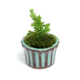 (山野草)苔盆栽 クラマゴケ 豆鉢植え(1鉢)