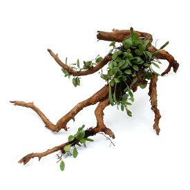 (観葉植物)苔 テラ向け マメヅタ付き枝状流木 20〜25cm前後(1本)