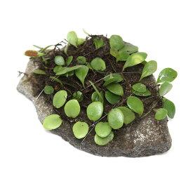 (観葉植物)苔 テラ向け マメヅタ付き輝板石 10cm前後(1個)
