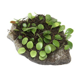 (観葉植物)苔 テラ向け マメヅタ付き輝板石 10cm前後(3個)
