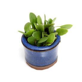 (盆栽)苔盆栽 マメヅタ 豆鉢植え(1鉢)