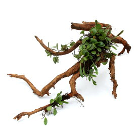 (観葉植物)苔 テラ向け マメヅタ付き枝状流木 20〜25cm前後(3本)