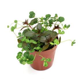 (ビオトープ)水辺植物 メダカの鉢にも入れられる水辺植物 ムチカとルビンの寄せ植え(1ポット)(ルビン挿したて)