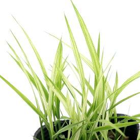 (ビオトープ)水辺植物 古代米 奥羽観383号(オウウカン)観賞用稲 3号(1ポット)