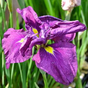 (ビオトープ)水辺植物 花菖蒲 大海原(オオウナバラ)肥後系青色桃筋巨大輪六英花 (1ポット)