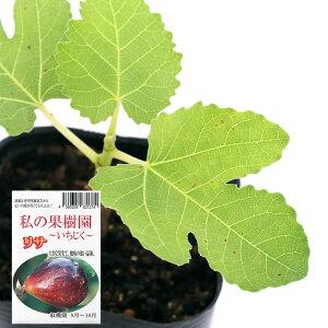 (観葉植物)果樹苗 イチジク リサ 実なし 3号(1ポット)家庭菜園