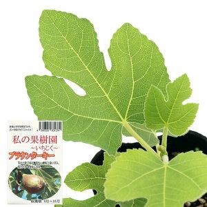 (観葉植物)果樹苗 イチジク ブラウンターキー 実なし 3号(1ポット)家庭菜園