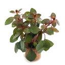 (水草)ライフマルチ(茶) ルドウィジアsp.スーパーレッド(水上葉)(無農薬)(1個) 北海道航空便要保温