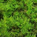 (観葉植物)苔 シノブゴケ 4パック分【HLS_DU】