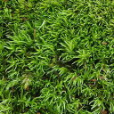 (観葉植物)苔 ヤマゴケ(ホソバオキナゴケ・アラハシラガゴケ) 2パック分【HLS_DU】