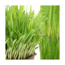 (観葉植物)猫草 やわらか生牧草お試し3種(ペットグラス・ライグラス・スーダングラス)(無農薬)(1セット) 猫草