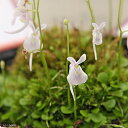 食虫植物 ウトリクラリア サンダーソニー ウサギゴケ