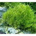 (水草)育成済 ウィローモス 風山石 Mサイズ(約14cm)(無農薬)(1個)