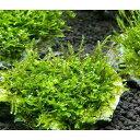 (水草)育成済 ウィローモス 風山石 SSサイズ(8cm以下)(無農薬)(1個)
