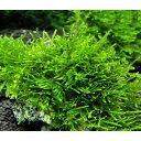 (水草)育成済 ウィローモス 風山石 Sサイズ(約10cm)(無農薬)(3個)