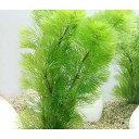 (水草)メダカ・金魚藻 ライフマルチ(茶) カボンバ(2個)