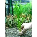 (水草)ライフマルチ(茶) スクリューバリスネリア(無農薬)(4個)