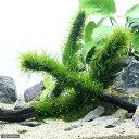 (水草)育成済 ウィローモス スティック流木 Mサイズ(約20cm)(無農薬)(3本)