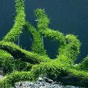 (水草)育成済 ウィローモス 流木 Lサイズ(約25cm)(無農薬)(3本) 沖縄別途送料