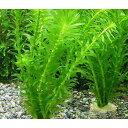 (水草)メダカ・金魚藻 お一人様3点限り ライフマルチ(茶) アナカリス(3個)+1個