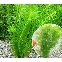 (水草)メダカ・金魚藻 お一人様3点限り ライフマルチ(茶) アナカリス(3個+カボンバ1個)