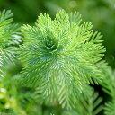 (水草)ミリオフィラムsp.オレンジ ローライマ産(水上葉)(無農薬)(8本)