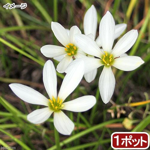(ビオトープ)水辺植物 タマスダレ(玉簾)(1ポット) (休眠株)