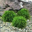 (水草)巻きたて ウィローモスsp.タイプ1 ボール(無農薬)(5個)