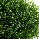 (水草)プレミアムグリーンモス バラ(無農薬)(2パック分) 北海道航空便要保温