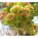 (水草)メダカ・金魚藻 ライフマルチ(茶) レッドカボンバ(3個)