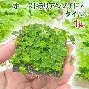 (水草)育成済 オーストラリアン ノチドメ タイル(無農薬)(1枚)
