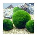 (水草)(B品)セイヨウマリモ Lサイズ(約4〜8cm)(無農薬)(1個)