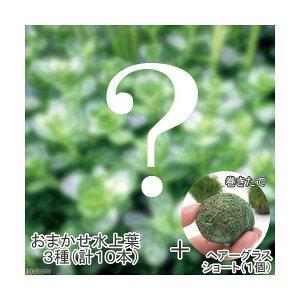(水草)おまかせ水上葉 3種セット(計10本) + 巻きたて ヘアーグラスショートボール(無農薬)(1個)